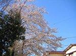 桜200604-2